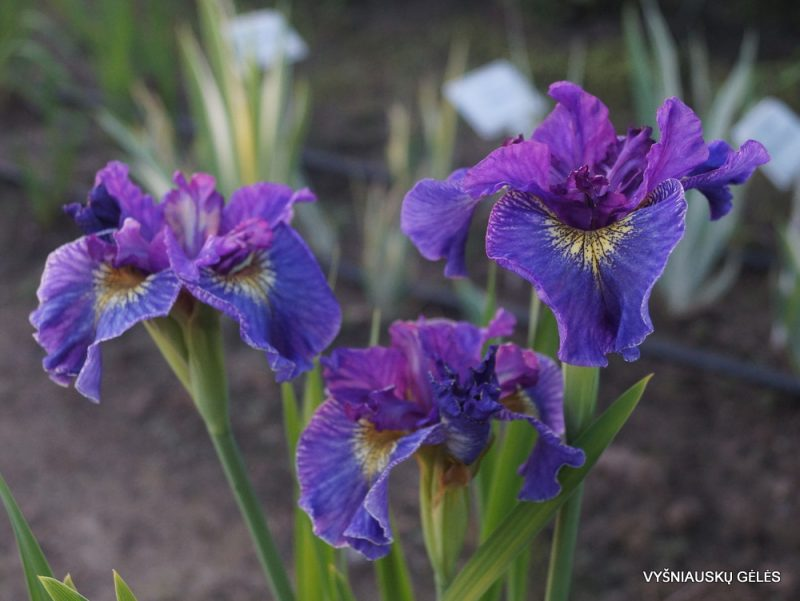 Iris 'Saucy Sailor' (2)