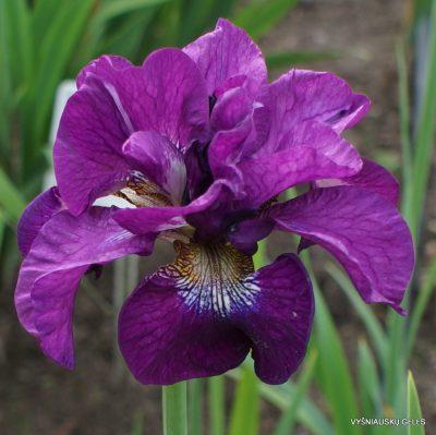 Iris 'Shebang'