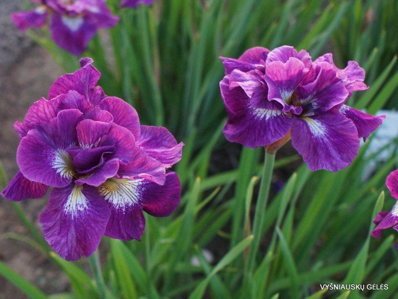 Iris 'Shebang' (3)