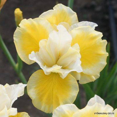 Iris 'Solar Energy'