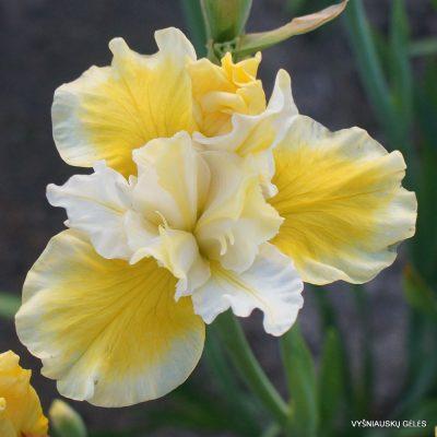 Iris 'Solar Energy' (2)