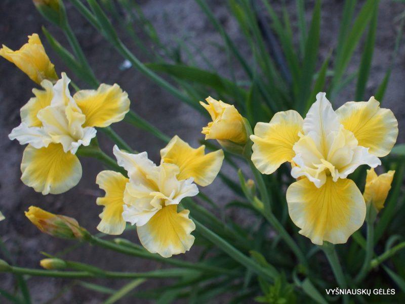 Iris 'Solar Energy' (3)