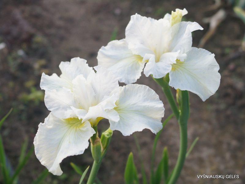 Iris 'Sugar Sprite' (3)
