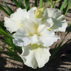 Iris 'Sugar Sprite'