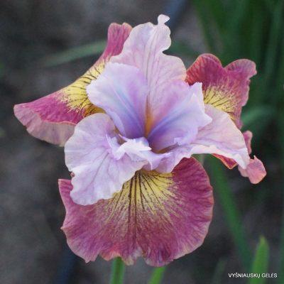 Iris 'Suger Rush'