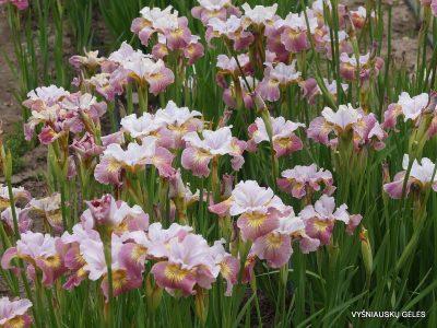 Iris 'Suger Rush' (2)