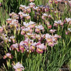 Iris 'Suger Rush' (3)