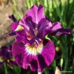 Iris 'Sultans Ruby' (2)