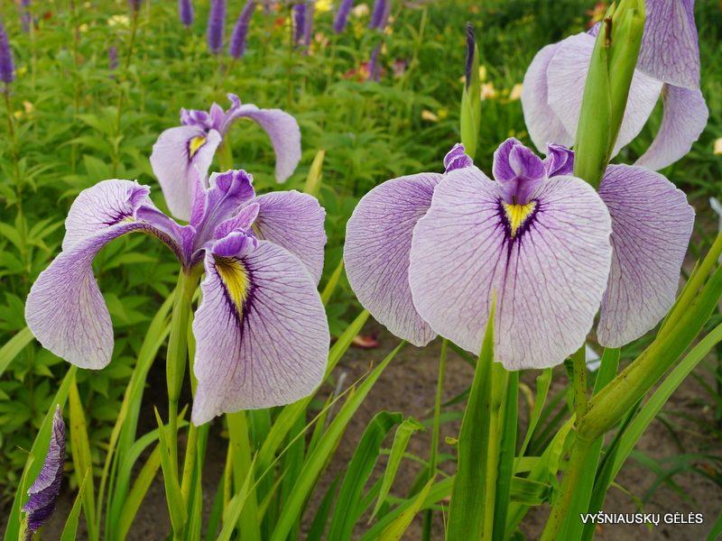 Iris 'Takamagahara' (3)