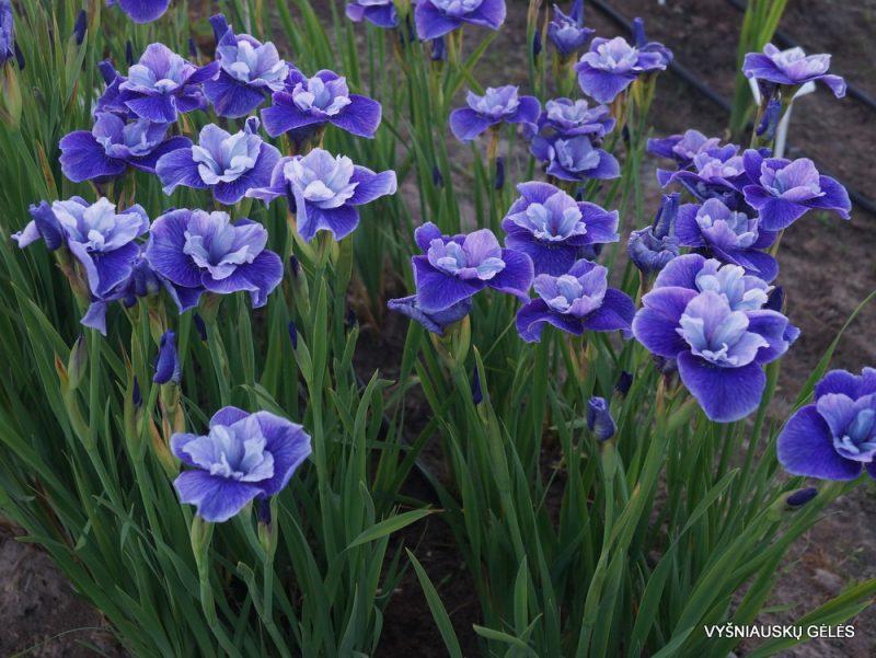Iris 'Three Hand Stars' (3)