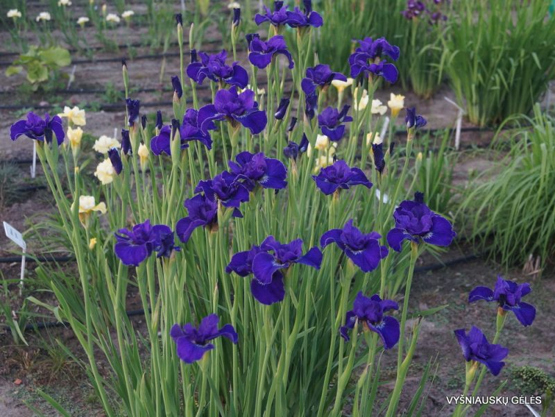 Iris 'Trim the Velvet' (2)