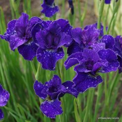 Iris 'Trim the Velvet' (3)