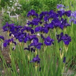 Iris 'Trim the Velvet' (4)