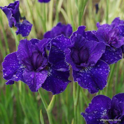 Iris 'Trim the Velvet'