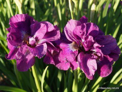 Iris 'Tumble Bug' (2)