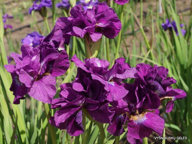 Iris 'Tumble Bug' (3)