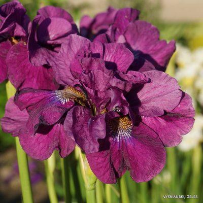 Iris 'Tumble Bug'