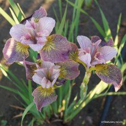Iris 'Unbuttoned Zippers' (3)
