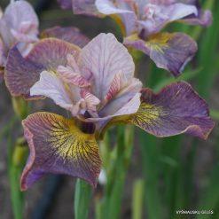 Iris 'Unbuttoned Zippers' (4)
