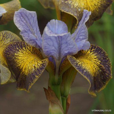 Iris 'Uncorked'