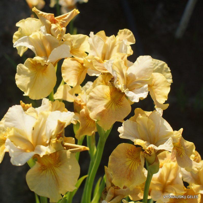 Iris 'White Amber'