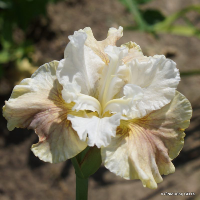 Iris 'Wynne Magnolia' (2)