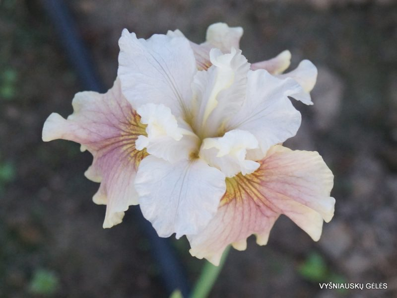 Iris 'Wynne Magnolia'