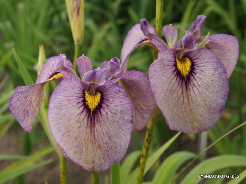 Iris 'Yasha' (2)
