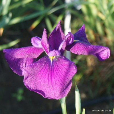 Iris ensata 'Midnight Star' (2)