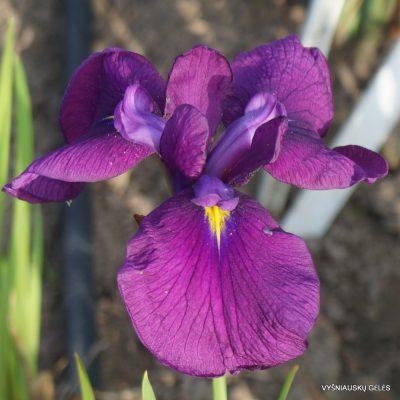 Iris ensata 'Midnight Star'