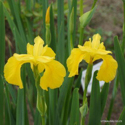 Iris pseudacorus 'Golden Queen' (2)