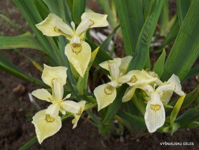 Iris pseudacorus 'Krill' (2)