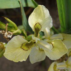 Iris pseudacorus 'Krill' (3)