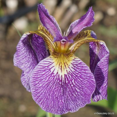 Iris setosa 'All Stripes'