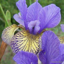 Iris sibirica 'Banish Misfortune'