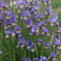 Iris sibirica 'Banish Misfortune' (5)