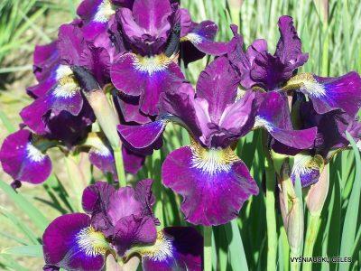 Iris sibirica 'Berlin Purple Wine' (2)