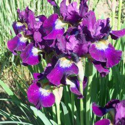 Iris sibirica 'Berlin Purple Wine' (3)