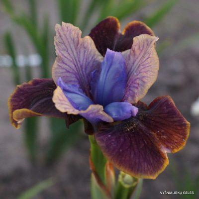 Iris sibirica 'Black Joker' (2)