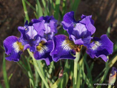 Iris sibirica 'Coronation Athem' (2)