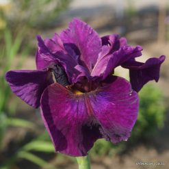 Iris sibirica 'Devil's Dream'