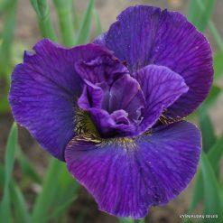 Iris sibirica 'Doreen Cambray'