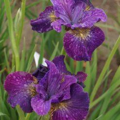 Iris sibirica 'Doreen Cambray' (3)