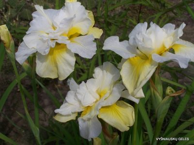 Iris sibirica 'Double Play' (2)
