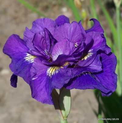 Iris sibirica 'Double Standards'