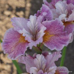 Iris sibirica 'Fancy Me This' (4)