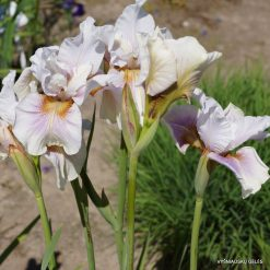 Iris sibirica 'Fond Kiss' (4)