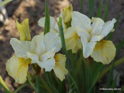 Iris sibirica 'Head Start' (2)