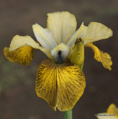 Iris sibirica 'Here Be Dragons'