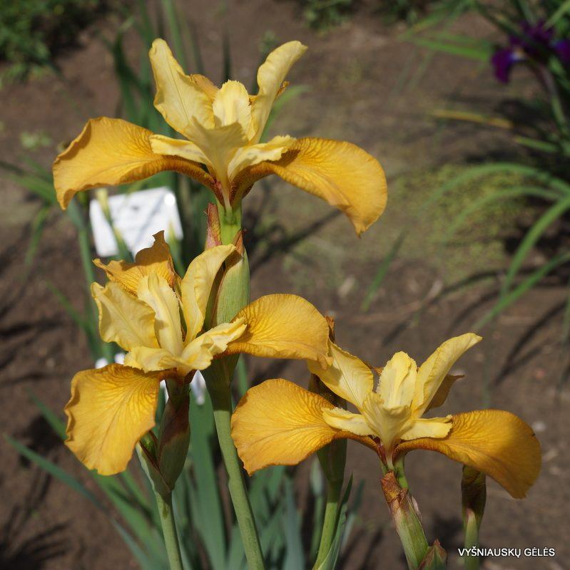 Iris sibirica 'Honey Chic' (2)